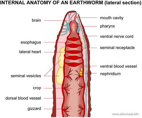 Pelvic Cavity Diagram moreover Body Cavities 54813809 together with 6409908 moreover Desarrollo De Las Cavidades Corporales also 3aea0b63. on dorsal and ventral body cavity organs