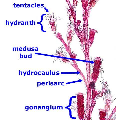 http://faculty.clintoncc.suny.edu/faculty/Michael.Gregory/files/Bio%20102/Bio%20102%20lectures/Animal%20Diversity/Lower%20Invertebrates/sponges.htm
