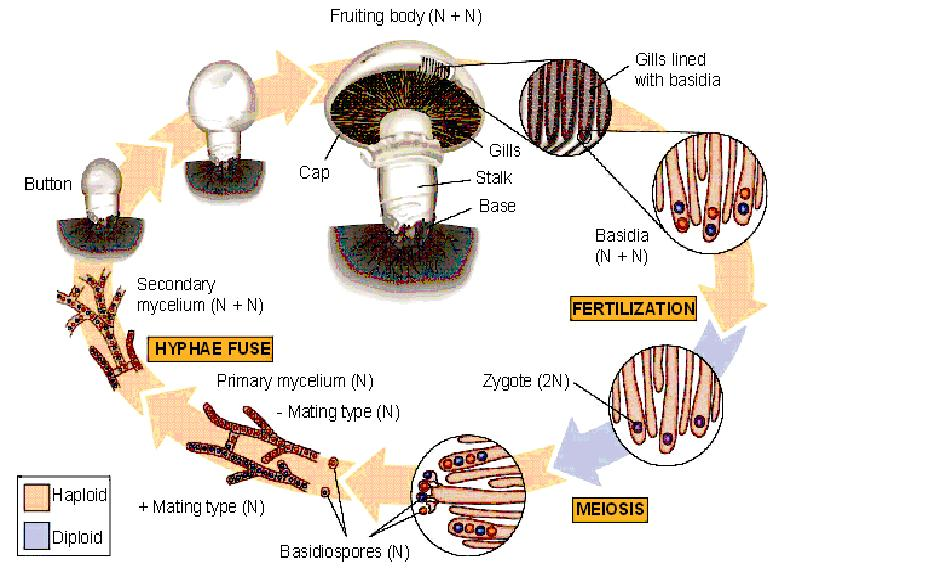 This picture depicts the average life cycle of a mushroom(including sexual reproduction).