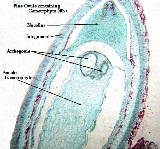 Lab 24 Gymnosperms