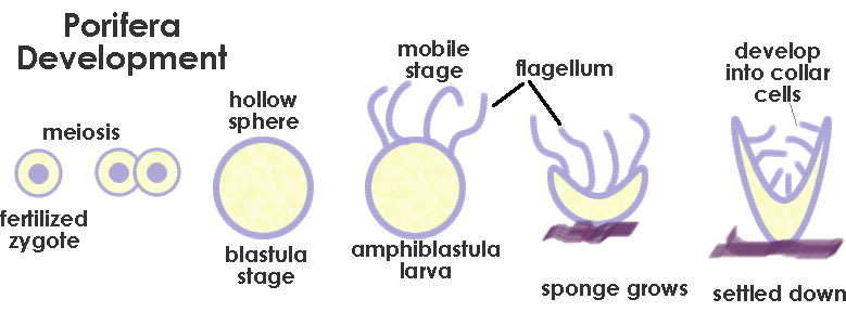 Sexual Reproduction In Sponges