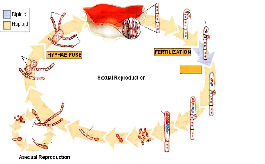Peziza asexual reproduction in humans