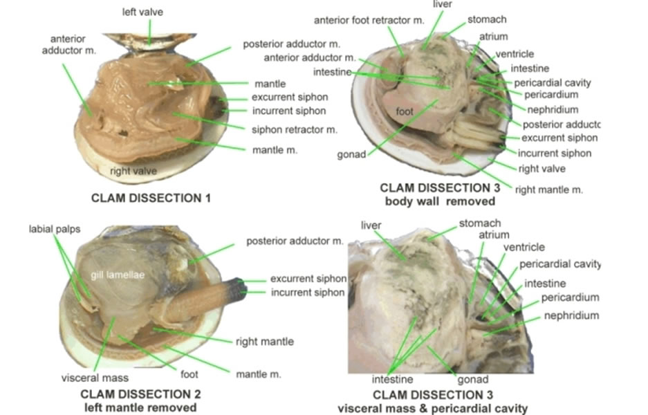 Animal Circulation furthermore Ss 11752065 likewise Anastomosis Types further Mollusca besides Cardiac Physiology 27985865. on closed circulatory system